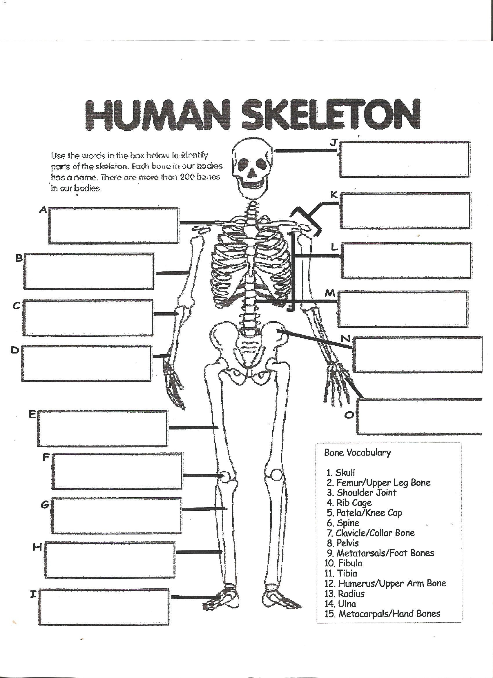 3rd Grade Human Body Worksheets Digestive System Labeling Worksheet Answers Human Skeleton