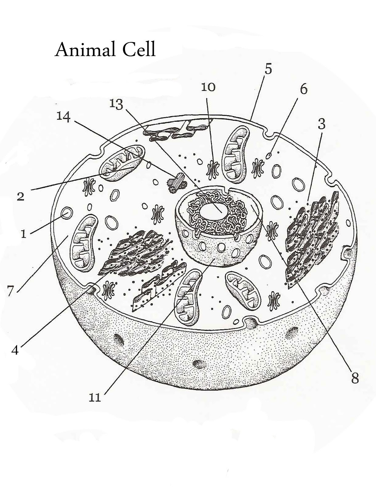 5th Grade Cell Worksheets Animal Cells Drawing at Getdrawings Free Identification