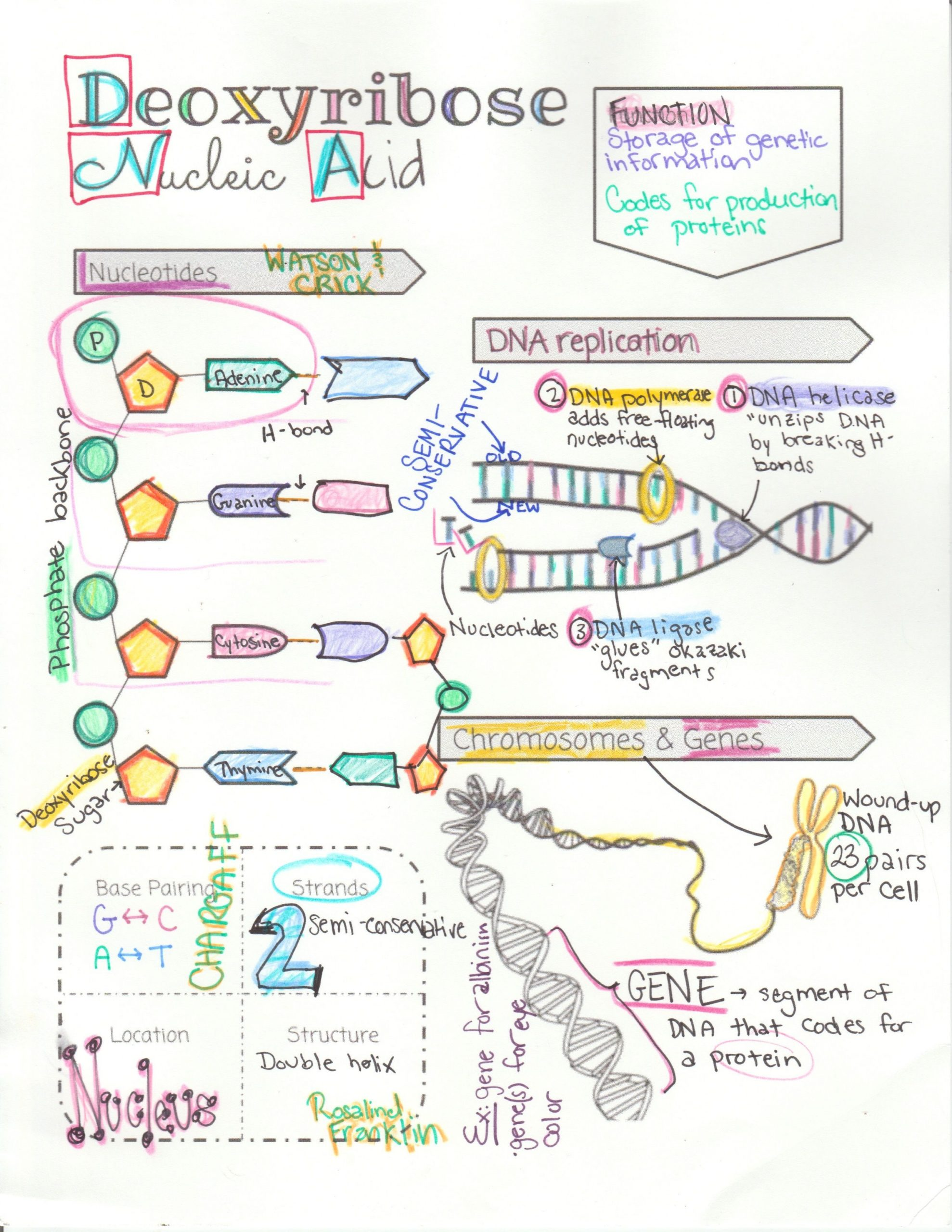 Dna Worksheet Middle School Pdf Dna Structure Function and Replication Doodle Notes