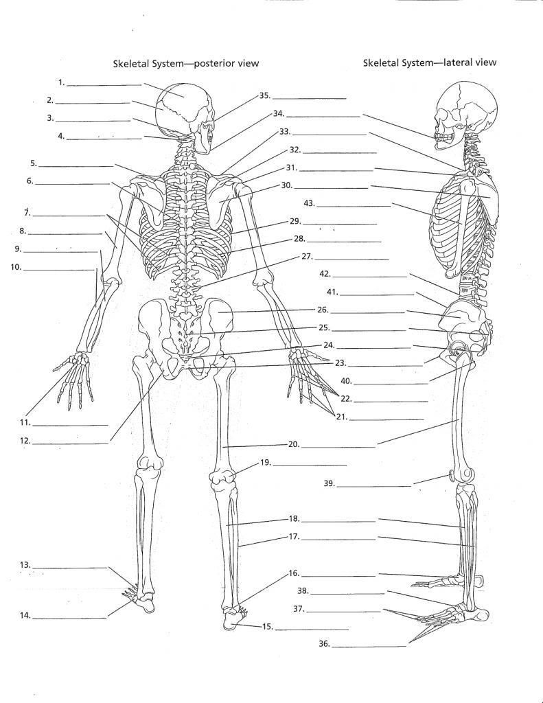 Free Printable Human Anatomy Worksheets Human Anatomy Worksheets