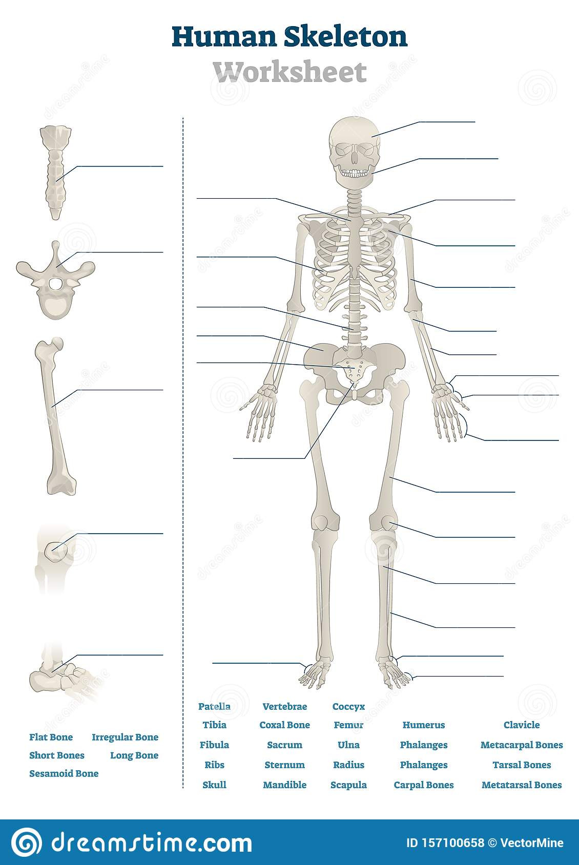 Free Printable Human Anatomy Worksheets Human Skeleton Worksheet Vector Illustration Blank