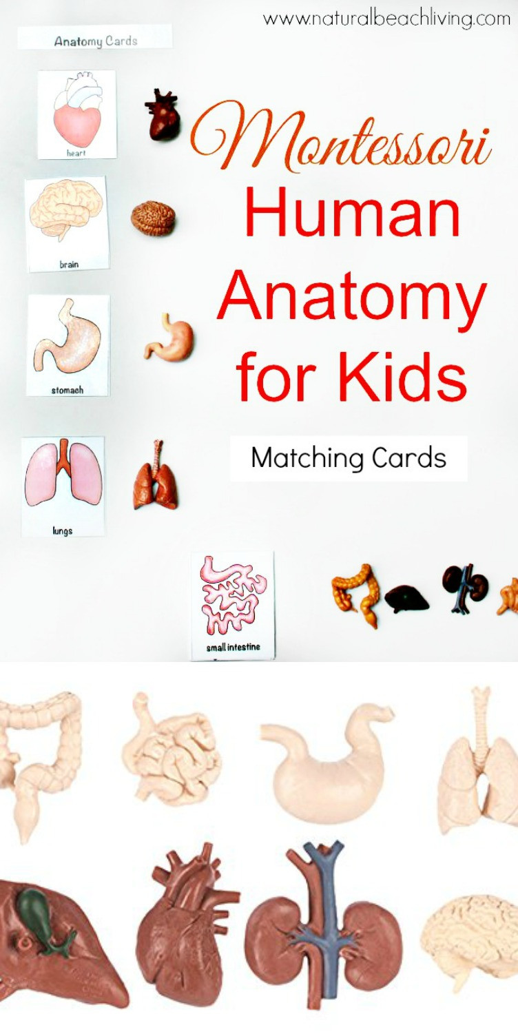 Free Printable Human Anatomy Worksheets Montessori Human Anatomy Activities Free Printables