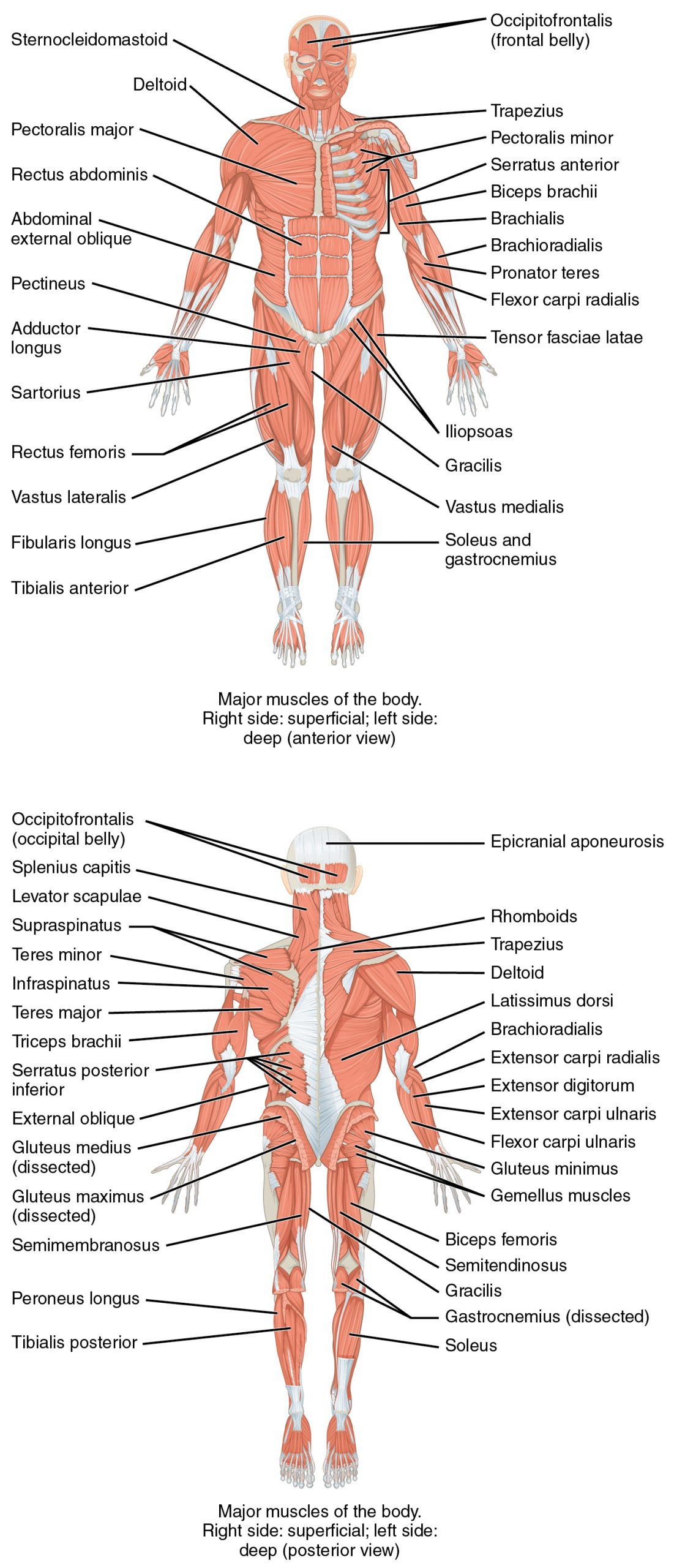 Printable Muscle Diagram Coloring 1105 Anterior and Posterior Views Muscles