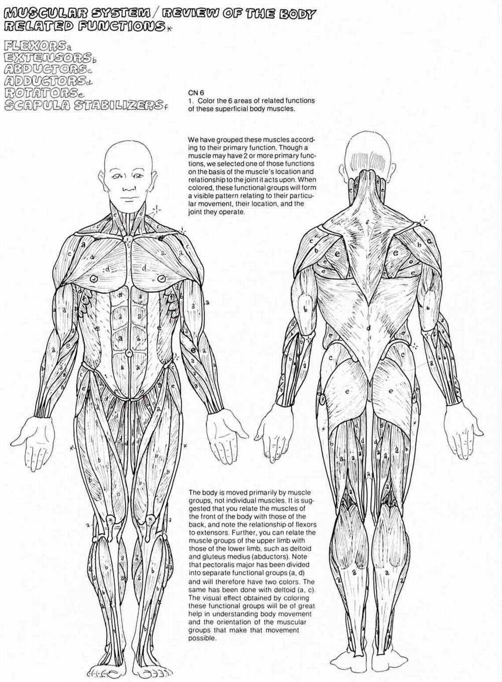 Printable Muscle Diagram Coloring Book Muscle Anatomy Pages Cat Oloring for All Ages