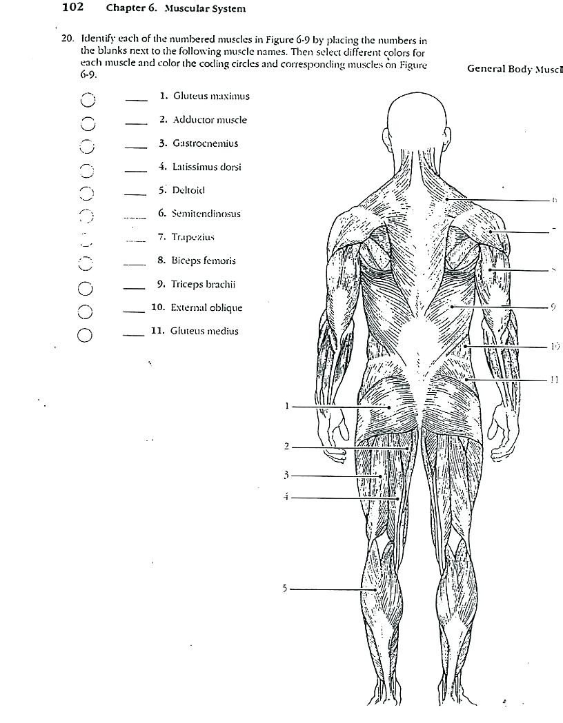 Printable Muscle Diagram Coloring Coloringull Size Human Muscles Picture Ideas