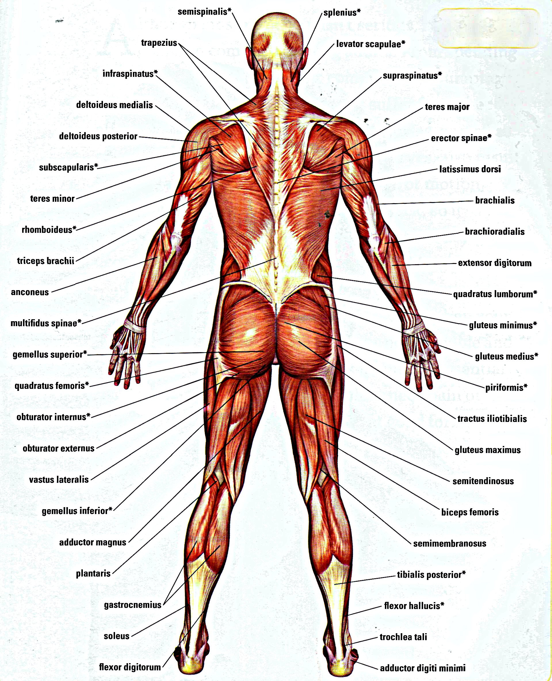Printable Muscle Diagram Coloring Pages Muscle Book Pdfee Printable Download Windows
