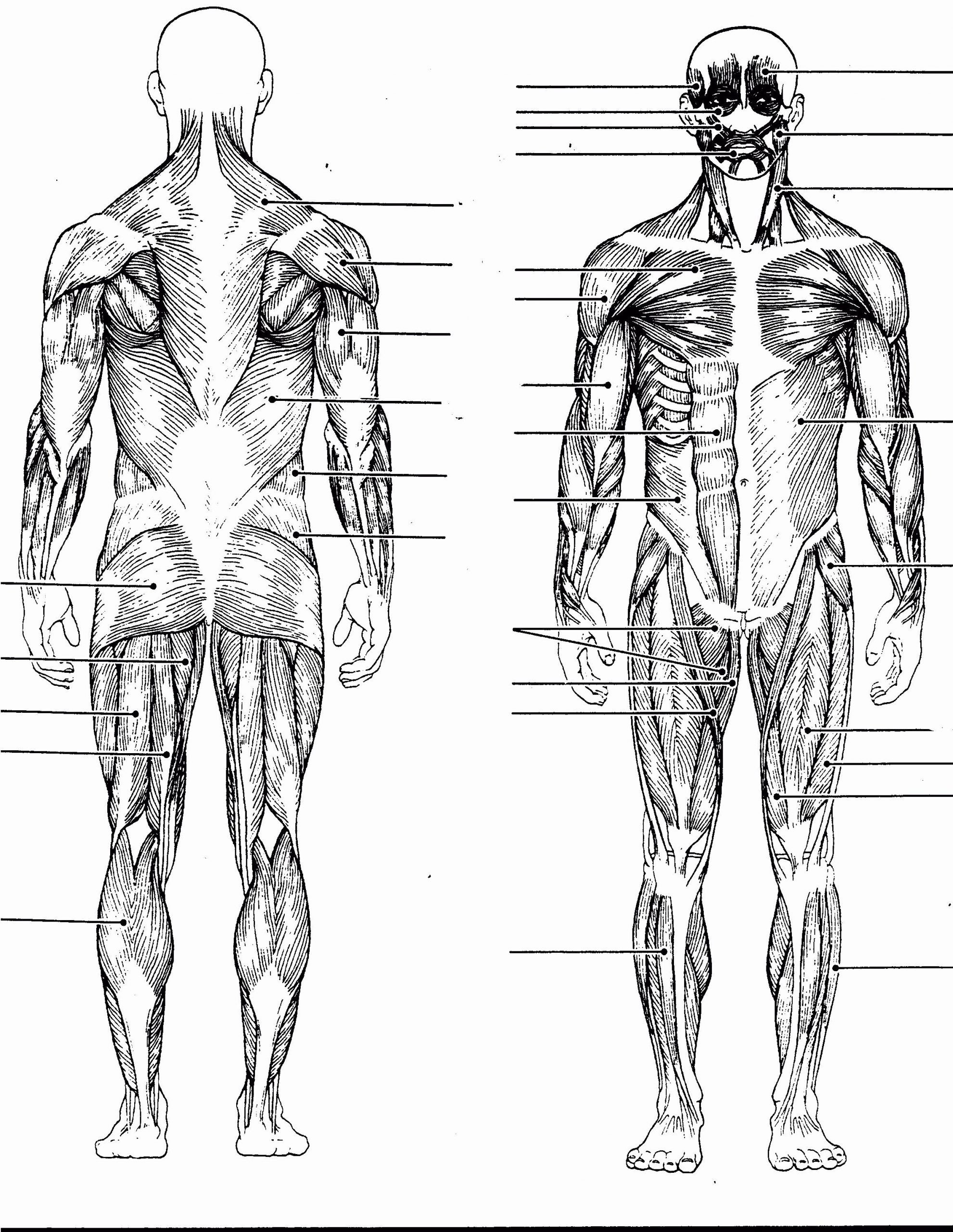 Printable Muscle Diagram Excelentnatomy Coloring Pages Muscles Image Inspirations