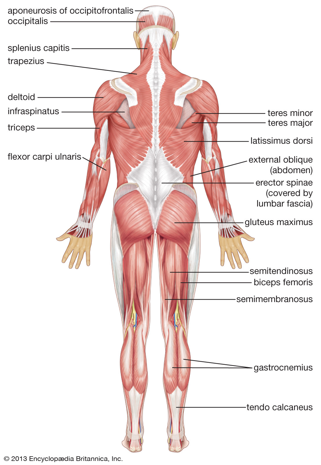 Printable Muscle Diagram Human Muscle System Functions Diagram & Facts