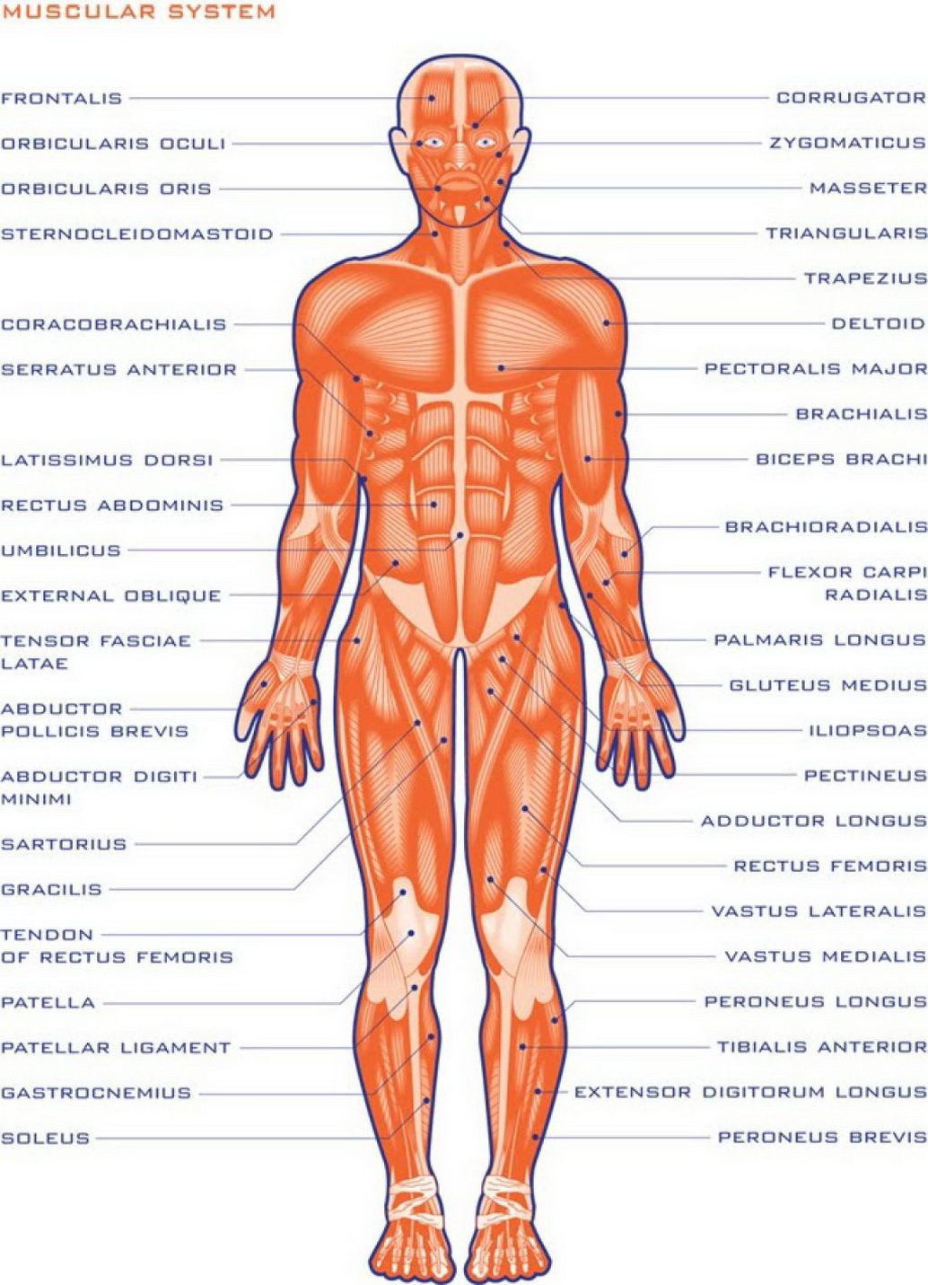 Printable Muscle Diagram Image Result for Human organs Outline Printable