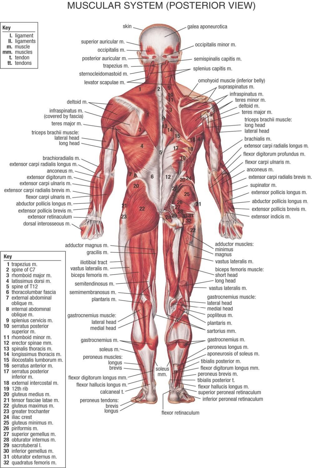 muscular system chart printable 1947 Google Search