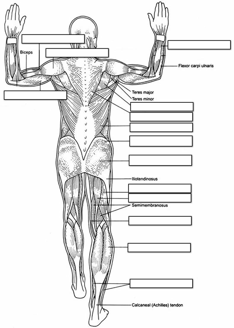 Printable Muscle Diagram the Muscular System Coloring Pages Coloring Home