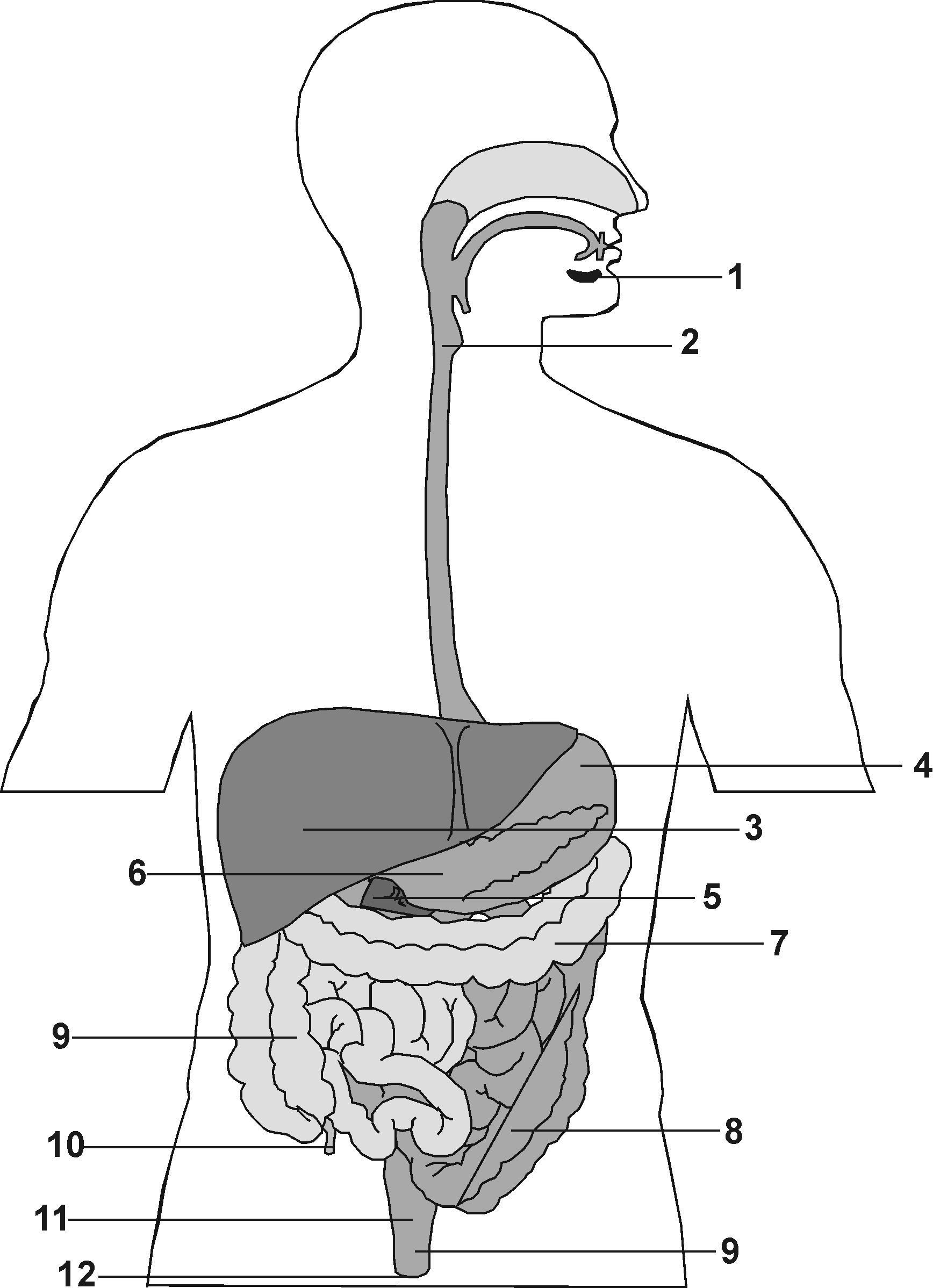 Digestive System Worksheets Middle School the Human Digestive System Worksheet Answers