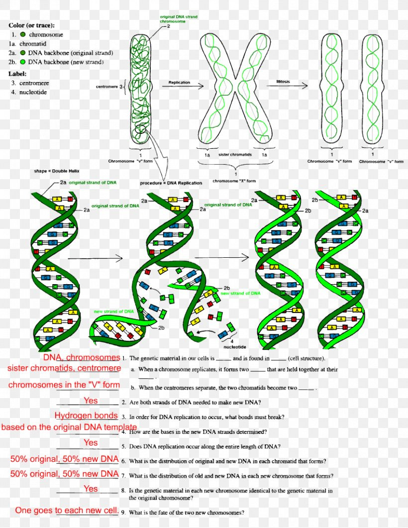 Dna Structure Worksheet High School the Double Helix A Personal Account the Discovery the