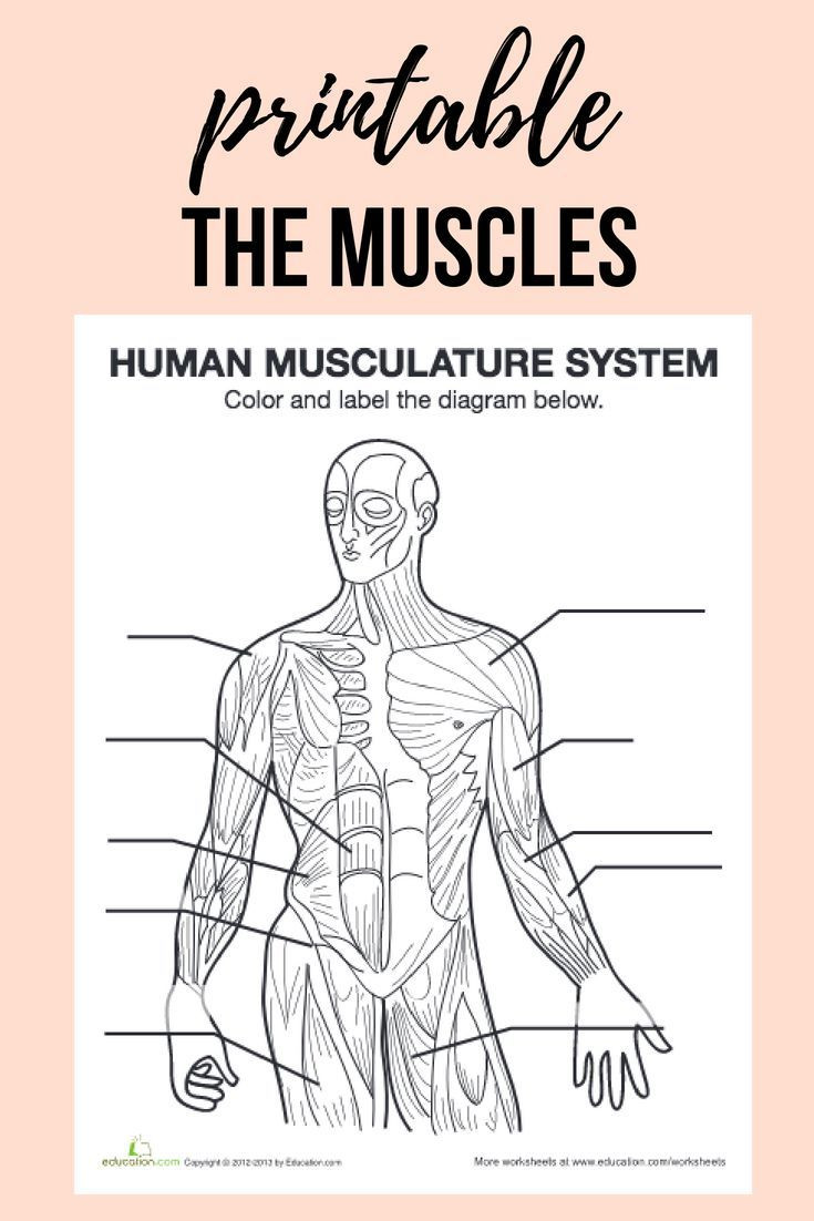 Free Printable Anatomy Worksheets Muscle Diagram