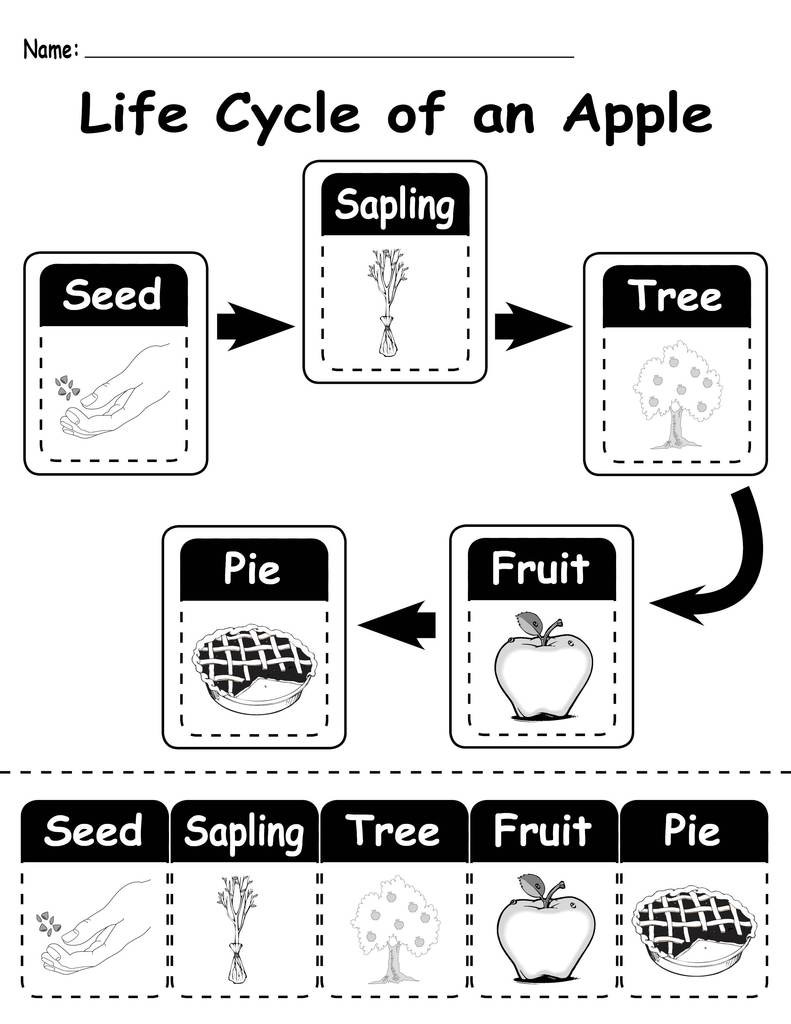 "Free Printable Apple Worksheets ""life Cycle Of An Apple"" Printable Worksheet"