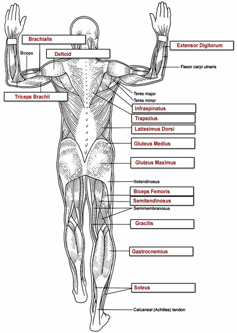 Printable Anatomy Labeling Worksheets Muscles Labeling Full Body Anatomy Worksheets Overall Label2