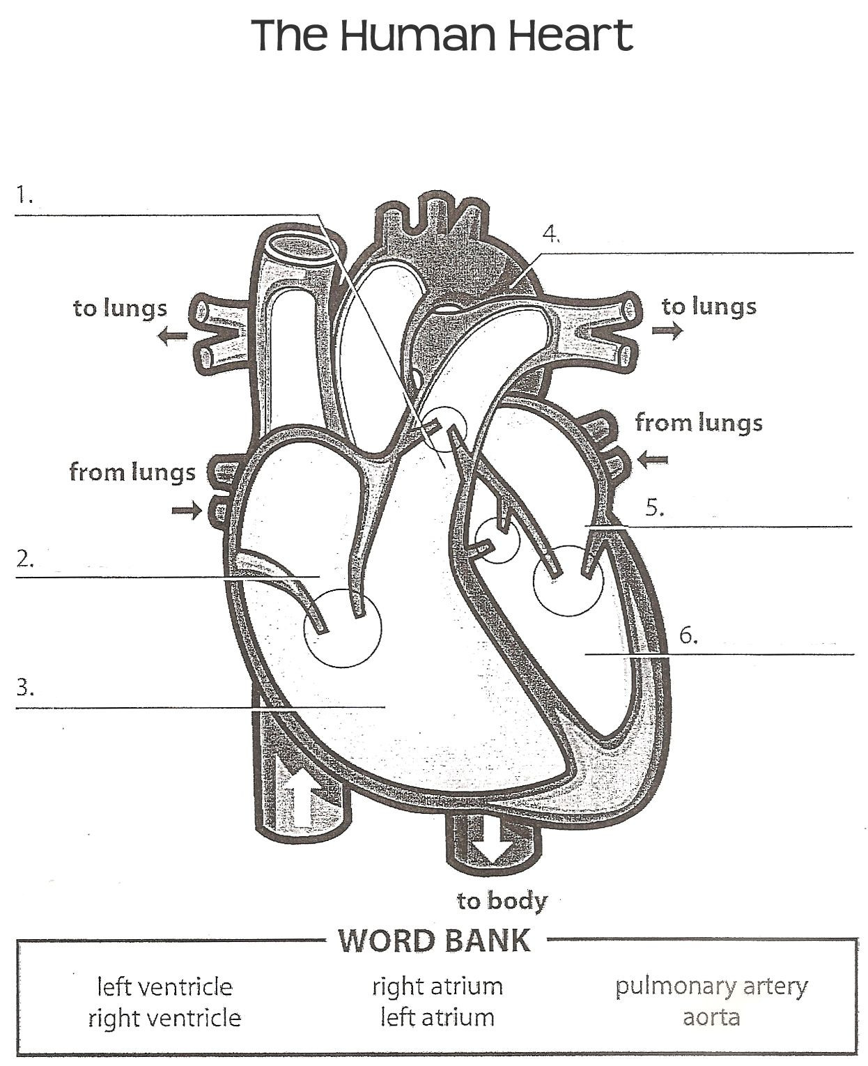 Printable Heart Diagram Diagram Heart with Labels Simple Simple Diagram Human