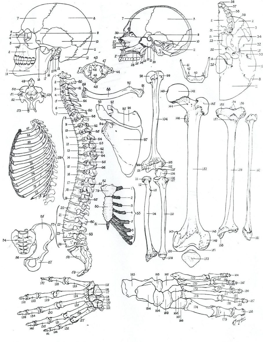 Printable Horse Anatomy Worksheets Anatomy Coloring Sheets Printable Pages Muscles Free Human